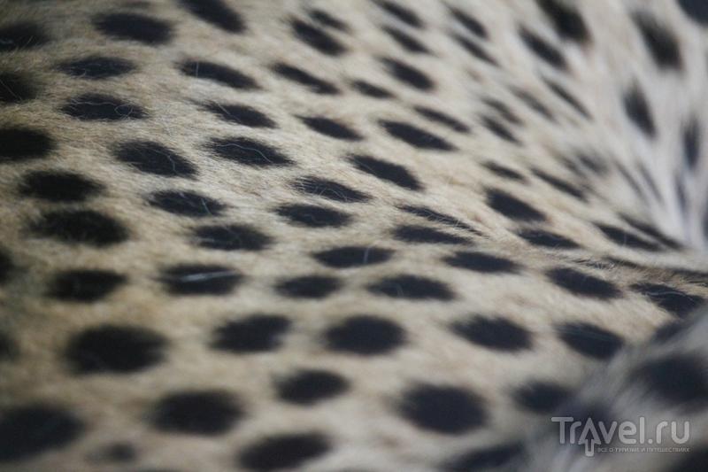 Гепарды: портреты необычных кошек